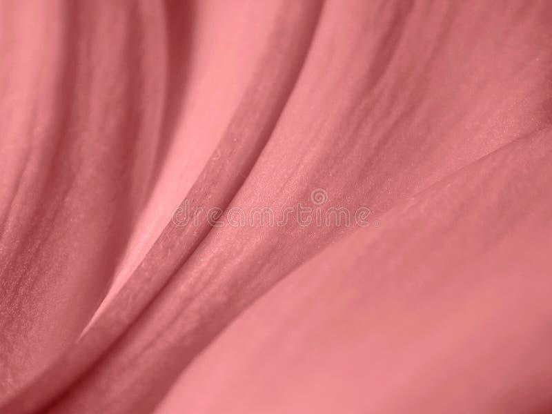 瓣玫瑰肉欲的纹理 库存图片