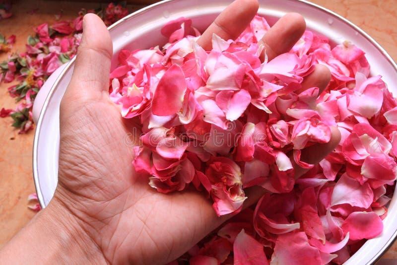 瓣玫瑰色茶 库存照片