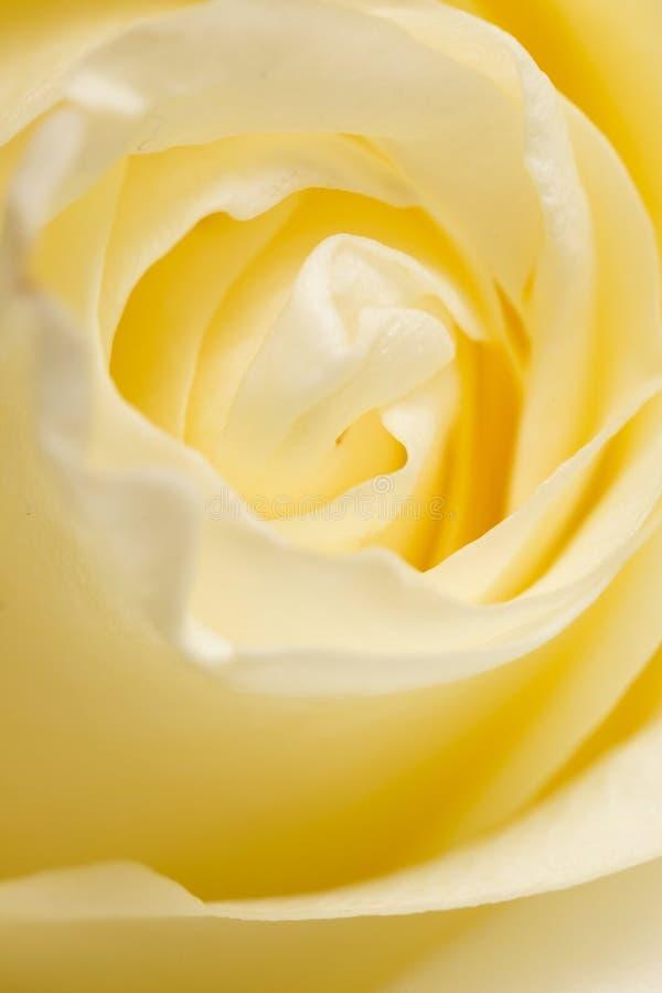 瓣白色玫瑰作为背景 宏指令 图库摄影