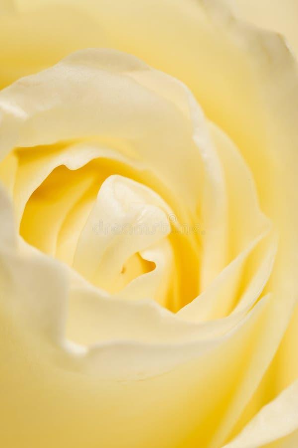 瓣白色玫瑰作为背景 宏指令 免版税库存照片