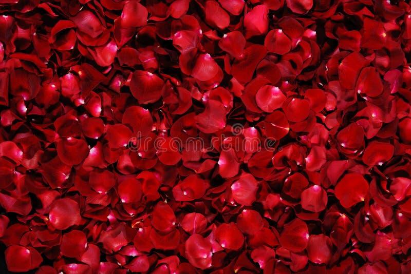 瓣红色上升了 免版税库存图片