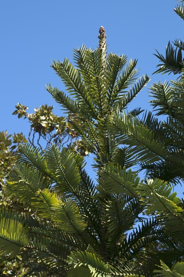 瓦勒迈衫树树机盖在植物园里 免版税库存照片