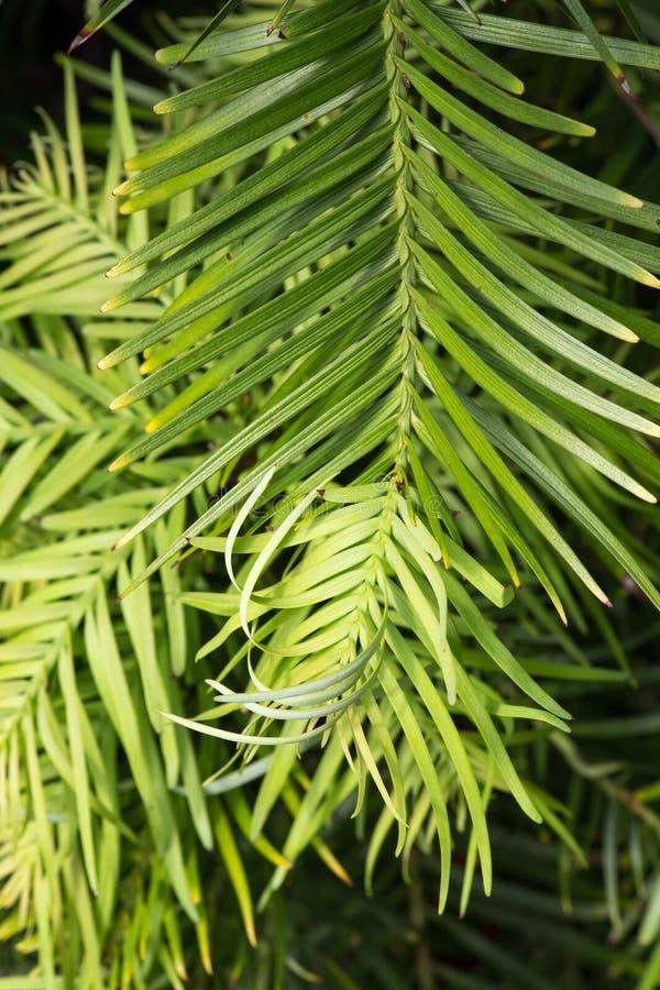 瓦勒迈衫树生存化石植物 库存照片