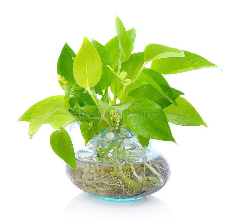 瓦器花瓶的绿色植物, 免版税库存图片
