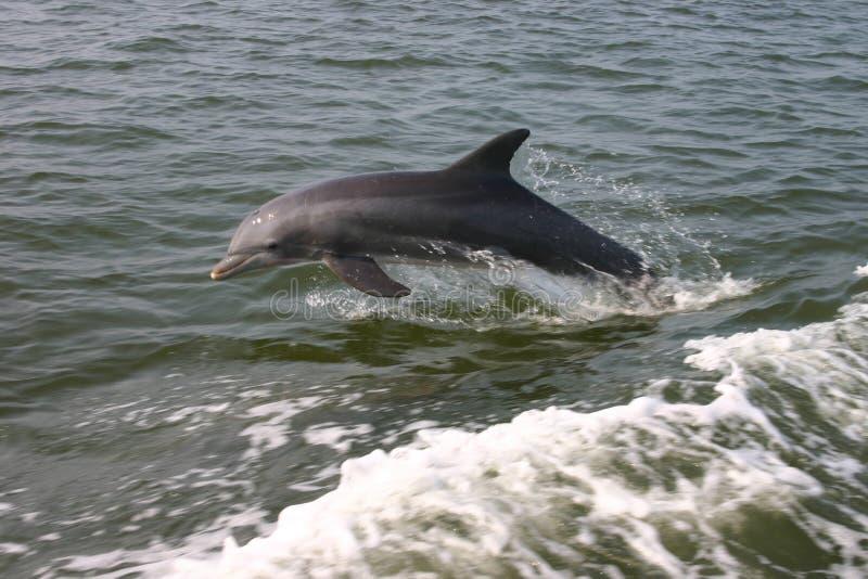 瓶海豚引导了 库存照片