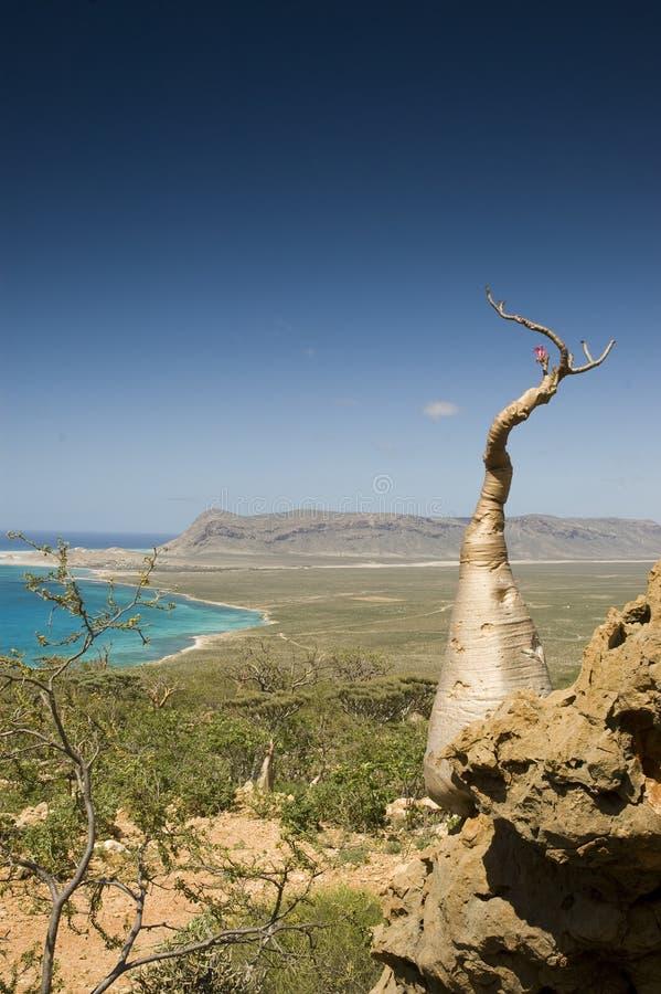 瓶索科特拉岛结构树 免版税库存图片