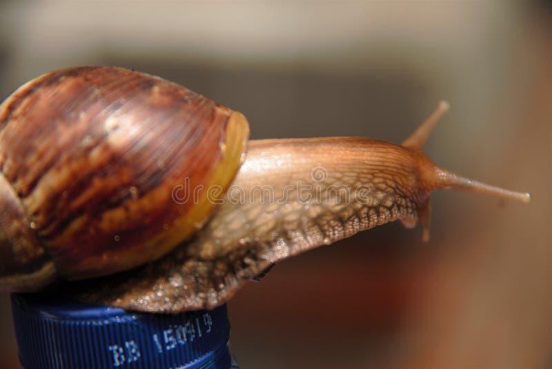 瓶蜗牛 免版税库存照片