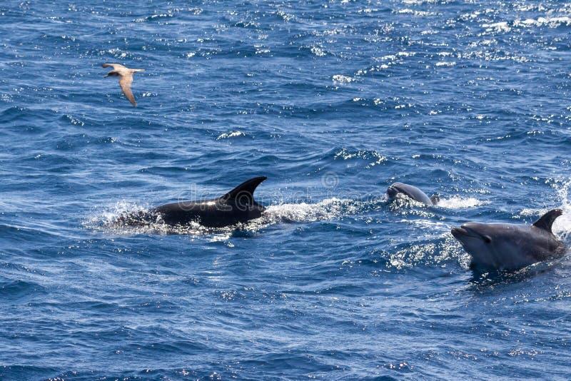 瓶被引导的海豚和鸥在圣地米格尔,亚速尔群岛附近 免版税库存图片