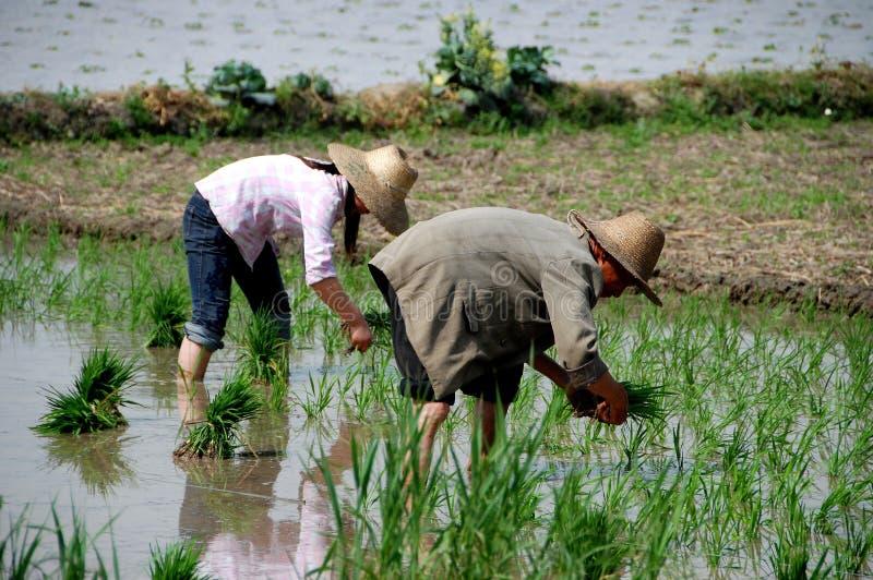瓷种植米的农夫pengzhou 库存照片