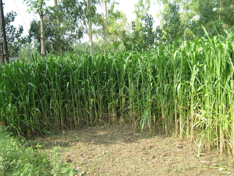 甘蔗农场在密拉特,印度 免版税库存照片