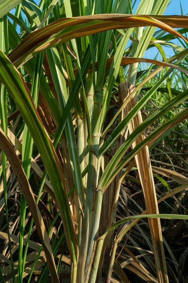 甘蔗农场 库存图片