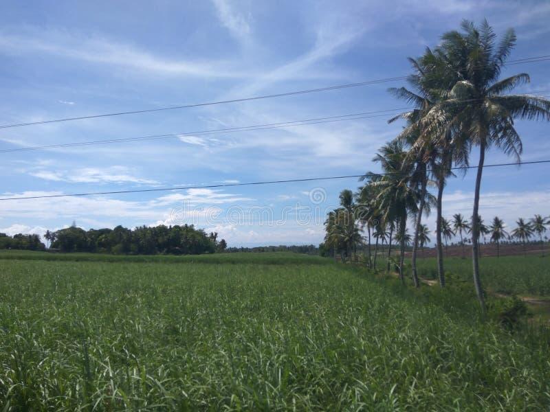 甘蔗农场 免版税库存图片
