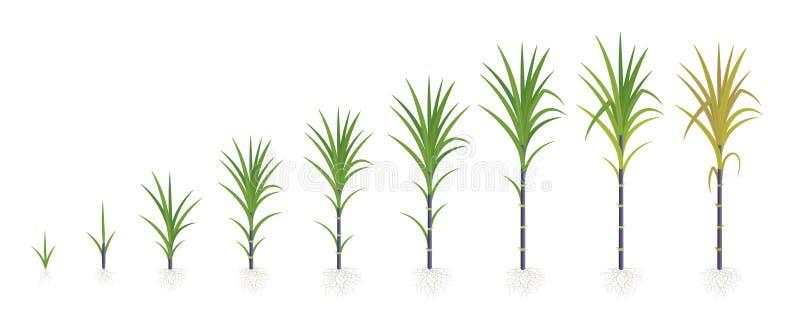 甘蔗庄稼阶段  增长的甘蔗植物 深黑色茎 传染媒介例证进步 向量例证