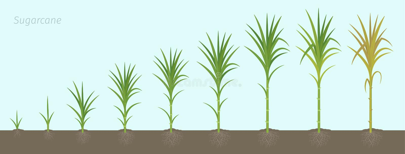 甘蔗庄稼阶段  用于食糖产品的增长的甘蔗植物 传染媒介例证动画进步 皇族释放例证
