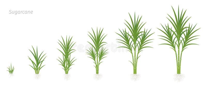 甘蔗庄稼阶段  用于食糖产品的增长的甘蔗植物 传染媒介例证动画进步 库存例证