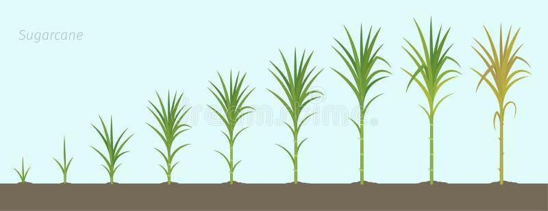 甘蔗庄稼阶段  用于食糖产品的增长的甘蔗植物 r 库存例证