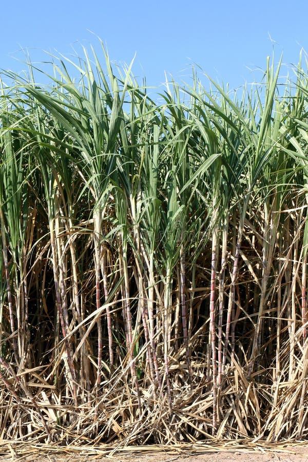 甘蔗植物在领域,种植园甘蔗林场,甘蔗领域背景增长  库存图片