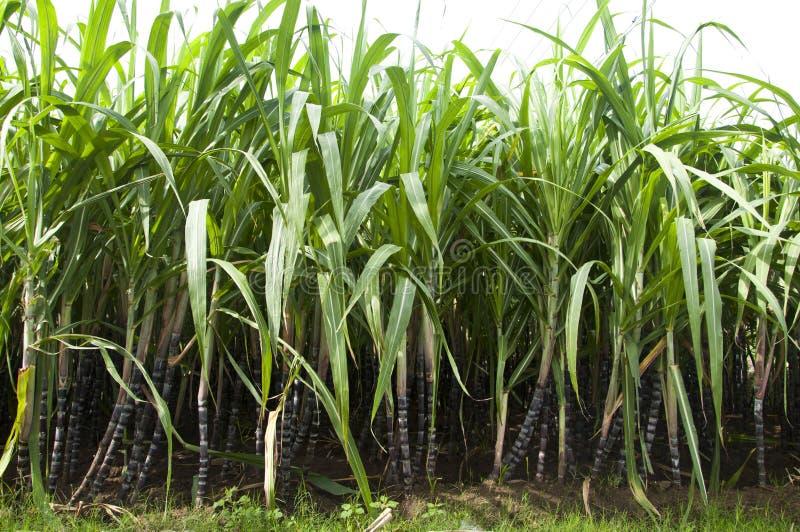 甘蔗植物 免版税库存照片