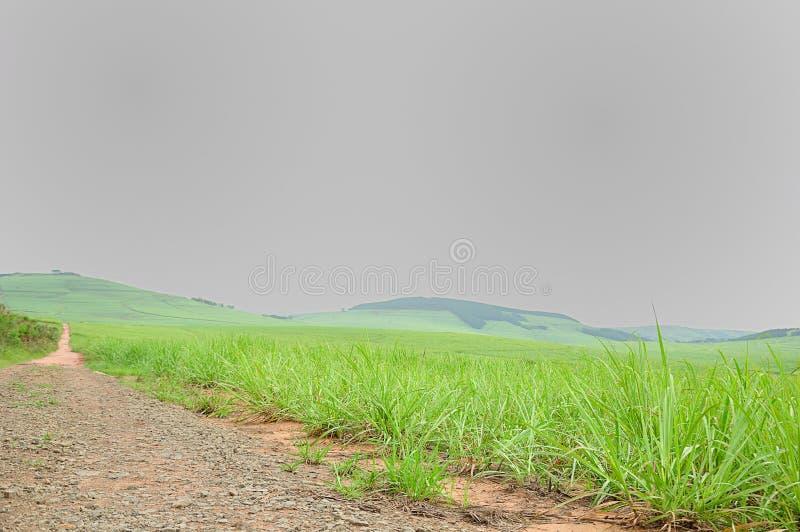 年轻甘蔗植物 免版税库存照片