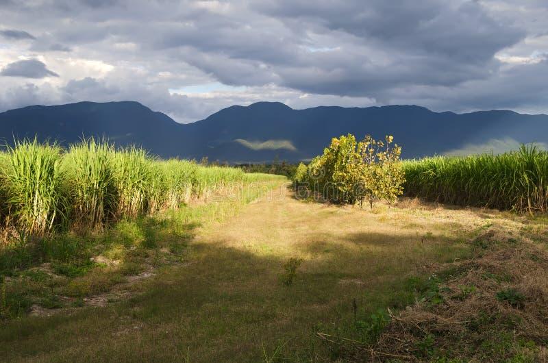 甘蔗种植园 免版税库存图片