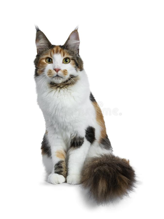 甜俏丽的tortie幼小成人缅因浣熊女孩猫隔绝坐看与此外大尾巴的白色背景照相机 免版税库存图片