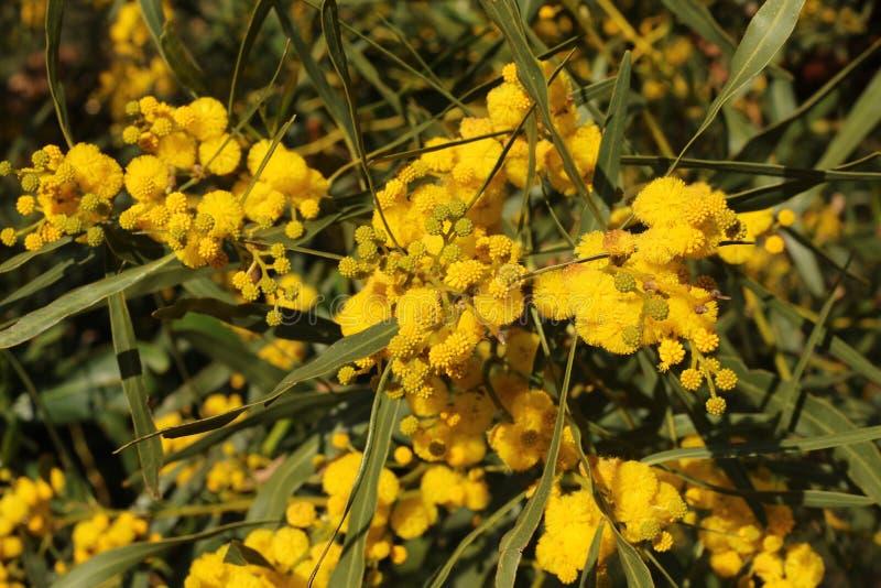甜刺树的黄色Pom Poms 图库摄影