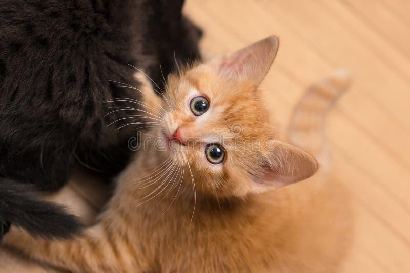 甜姜和黑全部赌注 年纪的家猫8个星期 猫属silvestris catus 免版税库存照片