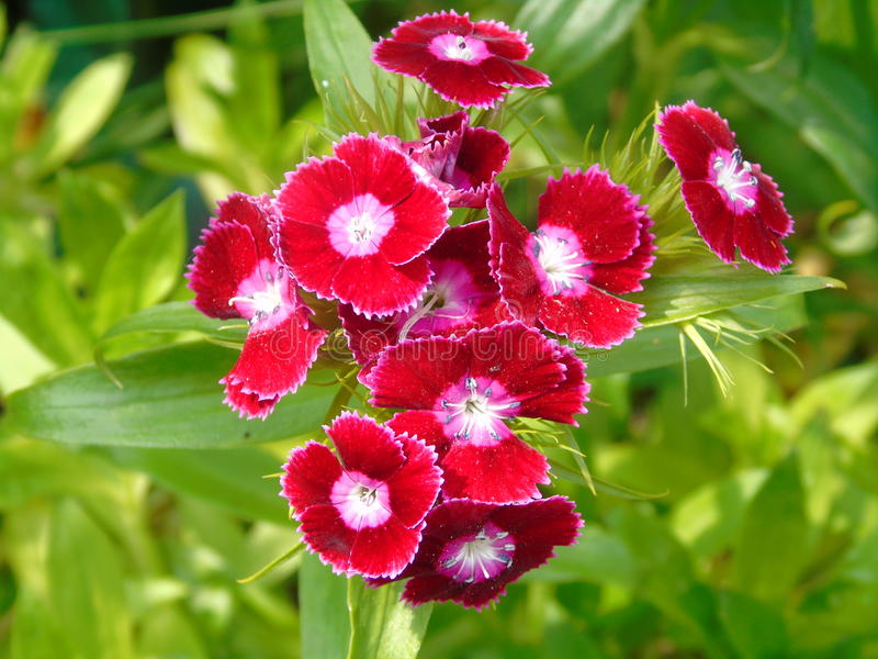 甜威廉-红色和桃红色盛开多年生植物花 库存照片
