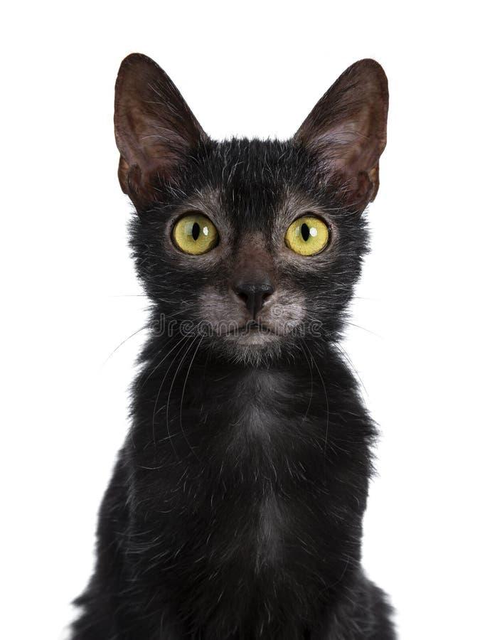 甜幼小成人Lykoi猫小猫,隔绝在白色背景 免版税库存图片