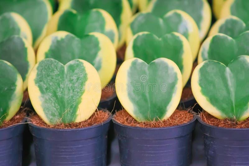 甜心霍亚,罐园林植物或霍亚kerrii Craib在黑罐有椰子须根的 免版税库存照片