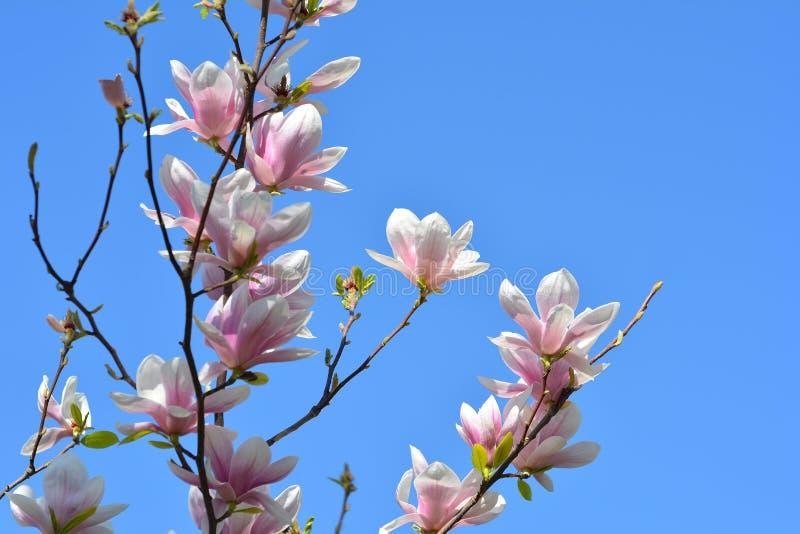 甜桃红色花开花的木兰在春天庭院 Bloss 免版税库存照片