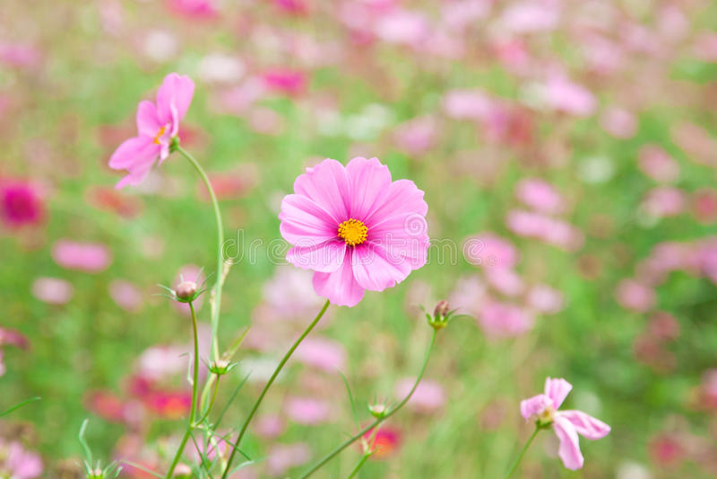 甜桃红色花 图库摄影