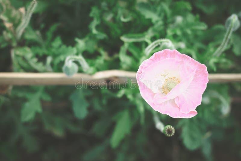 甜桃红色鸦片在庭院里 免版税库存照片