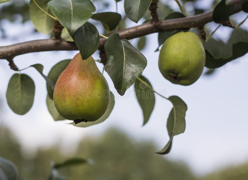 甜梨果子在一个树枝的在果树园 图库摄影