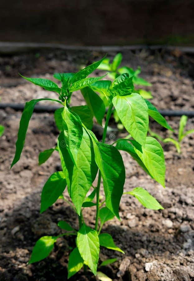 甜椒年轻灌木的特写镜头自温室 增长的辣椒粉在庭院里 健康菜的农厂耕种 库存照片