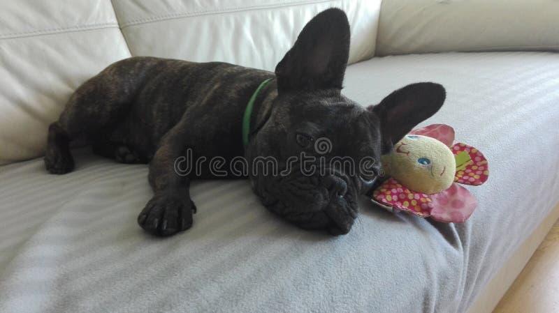 甜法国牛头犬狗在有一个喜爱的玩具的长沙发放置了 图库摄影