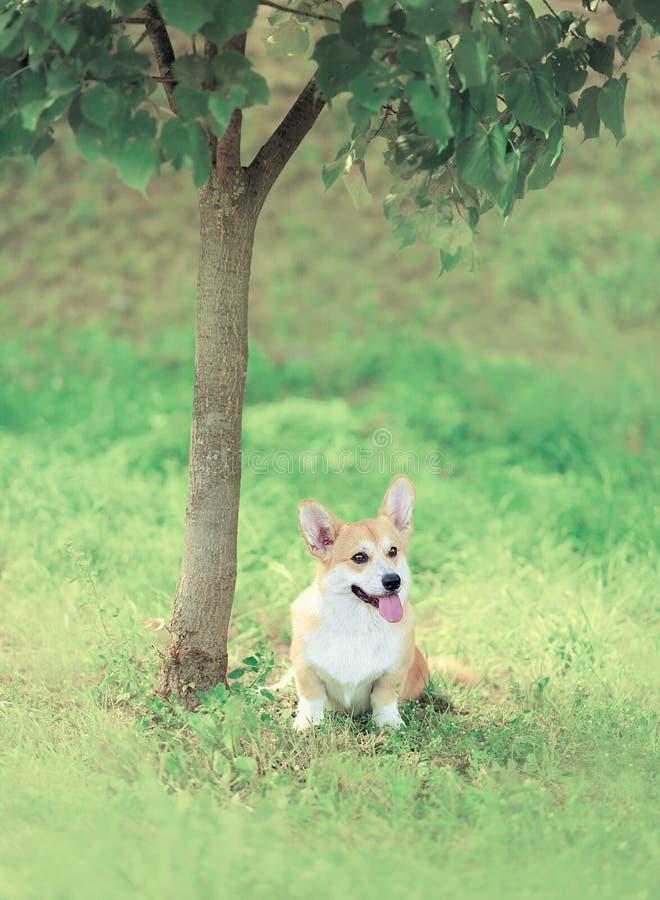甜狗威尔士小狗彭布罗克角坐草在树附近 免版税库存照片