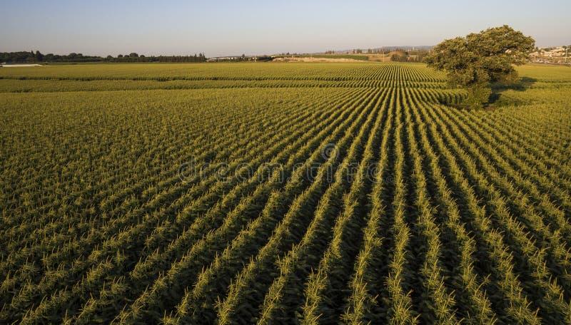 甜玉米捆鸟瞰图调遣准备好在蓝天前面的收获 库存图片