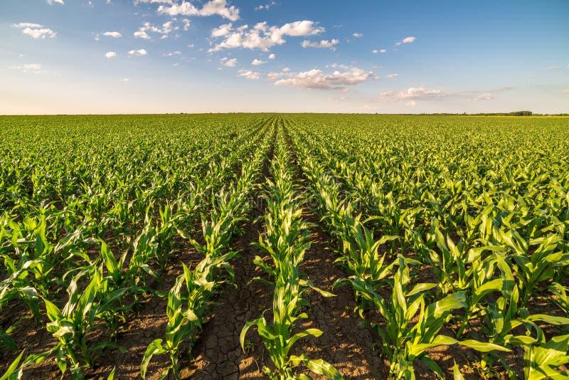 甜玉米玉米领域进入早期 免版税库存图片