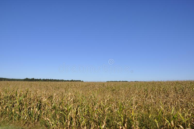 甜玉米的大领域在金子颜色的与蓝天 库存照片