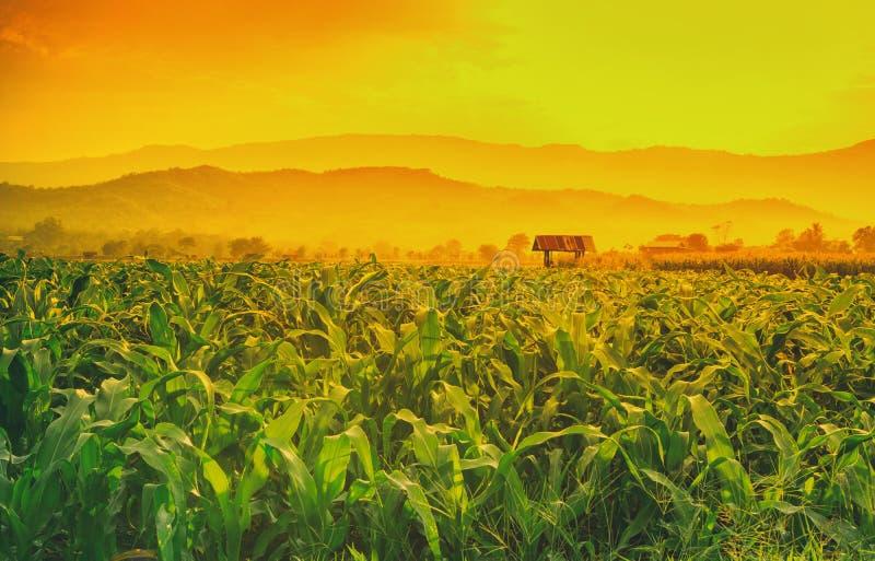 年轻甜玉米领域在农业庭院和光里发光日落 免版税库存图片