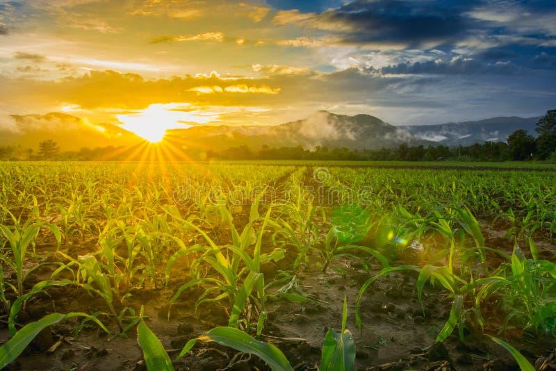 年轻甜玉米领域 库存图片