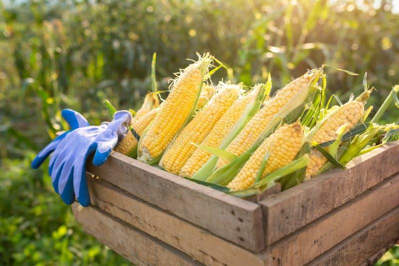 甜玉米,在一个木板箱收获的有机甜玉米 背景是麦地当太阳结束时 免版税图库摄影