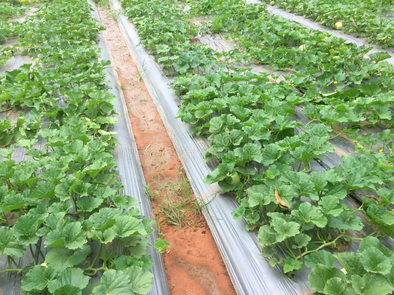 甜瓜和西瓜种植园 免版税库存图片