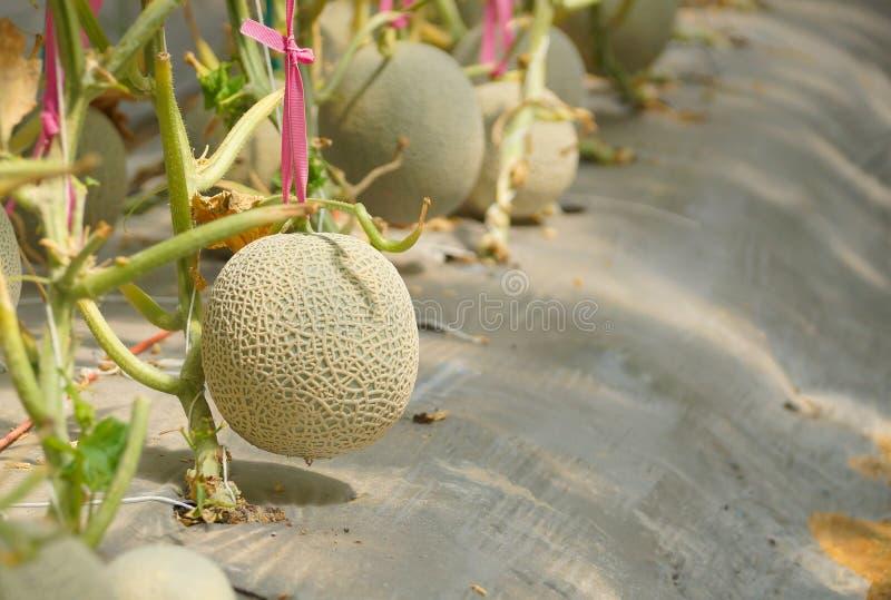 甜瓜瓜种植园 图库摄影