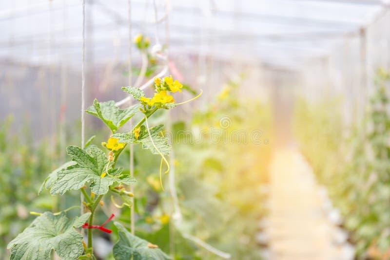 甜瓜生长自影片温室的瓜植物种田 免版税库存图片