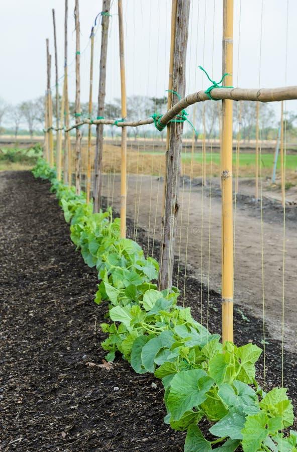 甜瓜种植园 库存图片