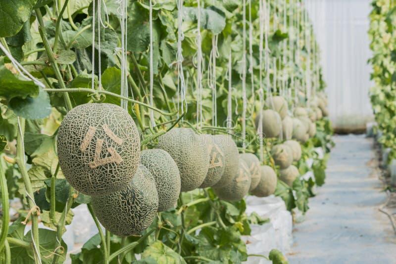 甜瓜 在树和被雕刻的汉语的新鲜的瓜 库存照片