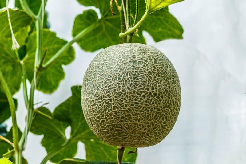 甜瓜 在树的新鲜的瓜 S 免版税图库摄影