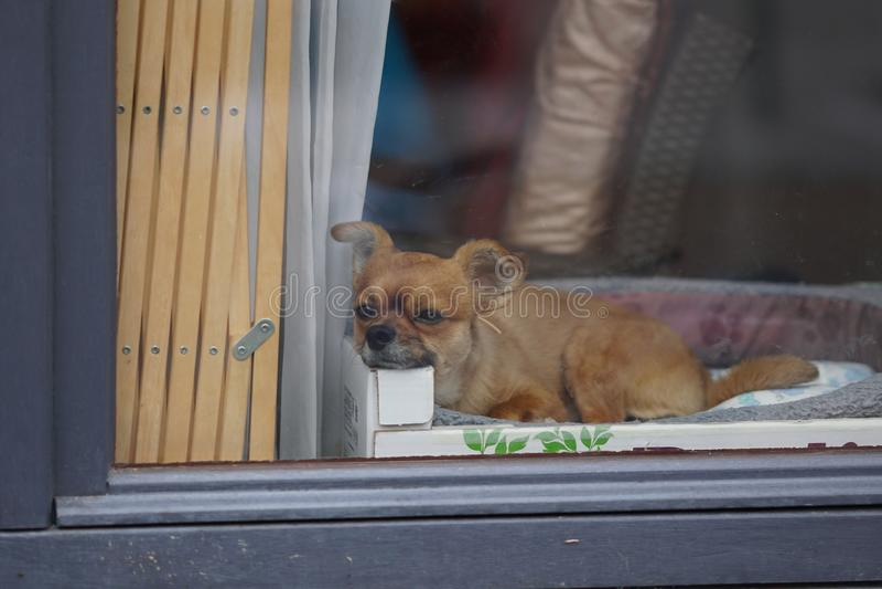 甜矮小的疲乏的狗 免版税库存图片